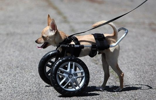 Wheel Chairs For Dogs Home Depot Adirondack Chair Plans Wheelchairs Handicapped Hand Built Quality By Ruff Rollin Sonny In Front Support Dog Wheelchair Legs