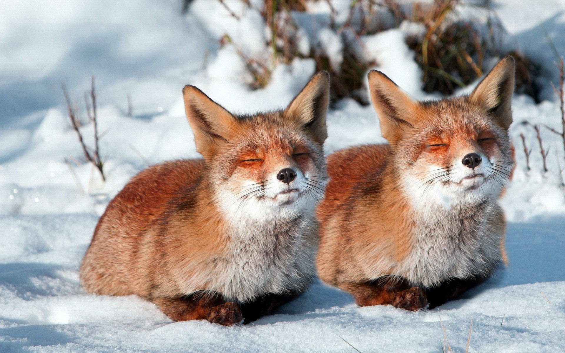 Fox Couple Sleeping In Snow HD Wallpaper 03428