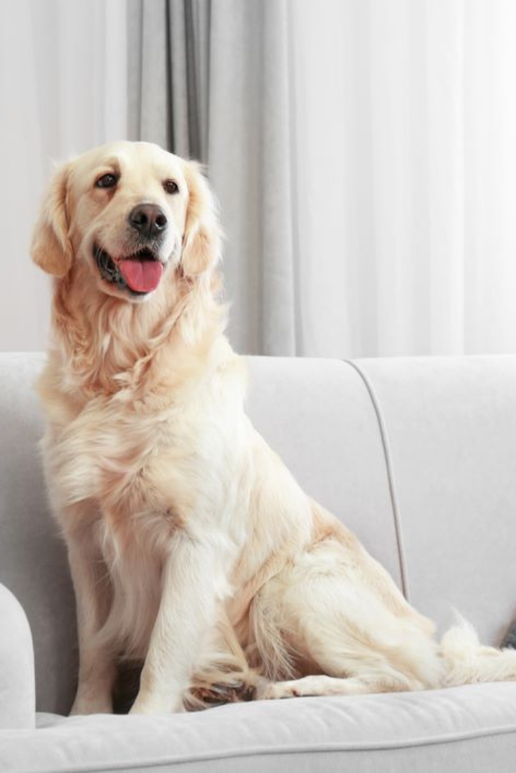 Golden Retriever Sitting On A Sofa At Home Goldenretriever Golden Retriever Retriever Labrador Retriever