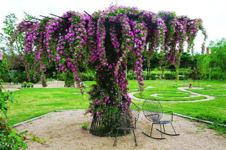 Garden Trellis Roses Tattooed Lady Germaine Arnaktauyok Beautiful Gardens Plants Outdoor Gardens
