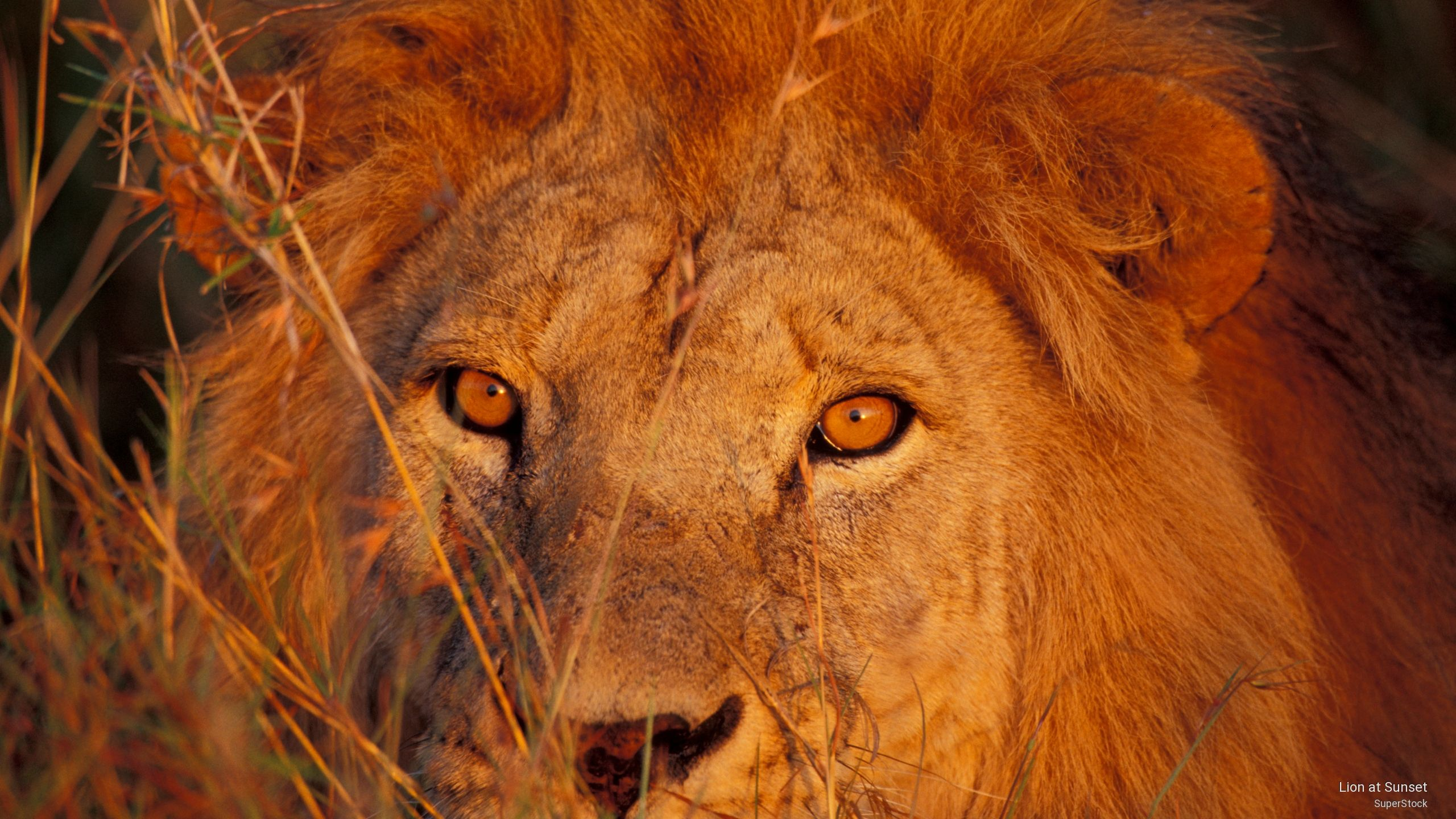 Lion  by superstock