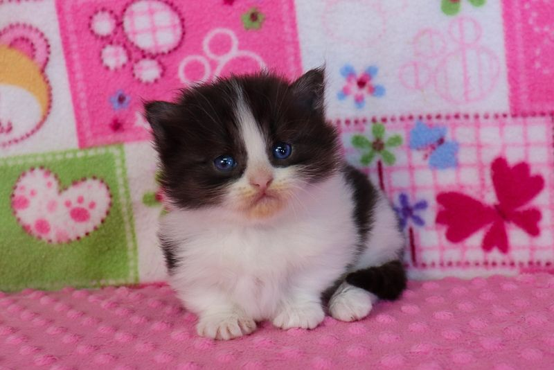 Munchkin Kittens For Sale Buy Munchkin Cat Near Me In 2020 Kitten For Sale Munchkin Kitten Munchkin Cat