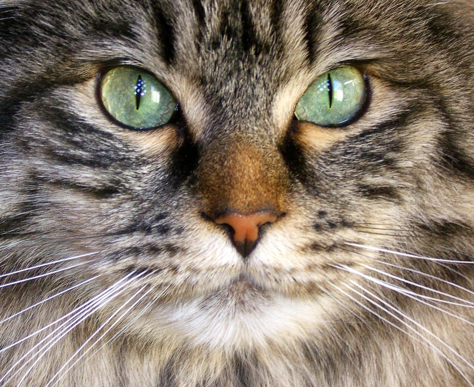 Cat S Eyes Change Color During Kittenhood If Eye Color Changes Come Later In Life It Can Be A Sign That Your Cat Is Facing Oth Kitten Eyes Cats Cat Eye Colors