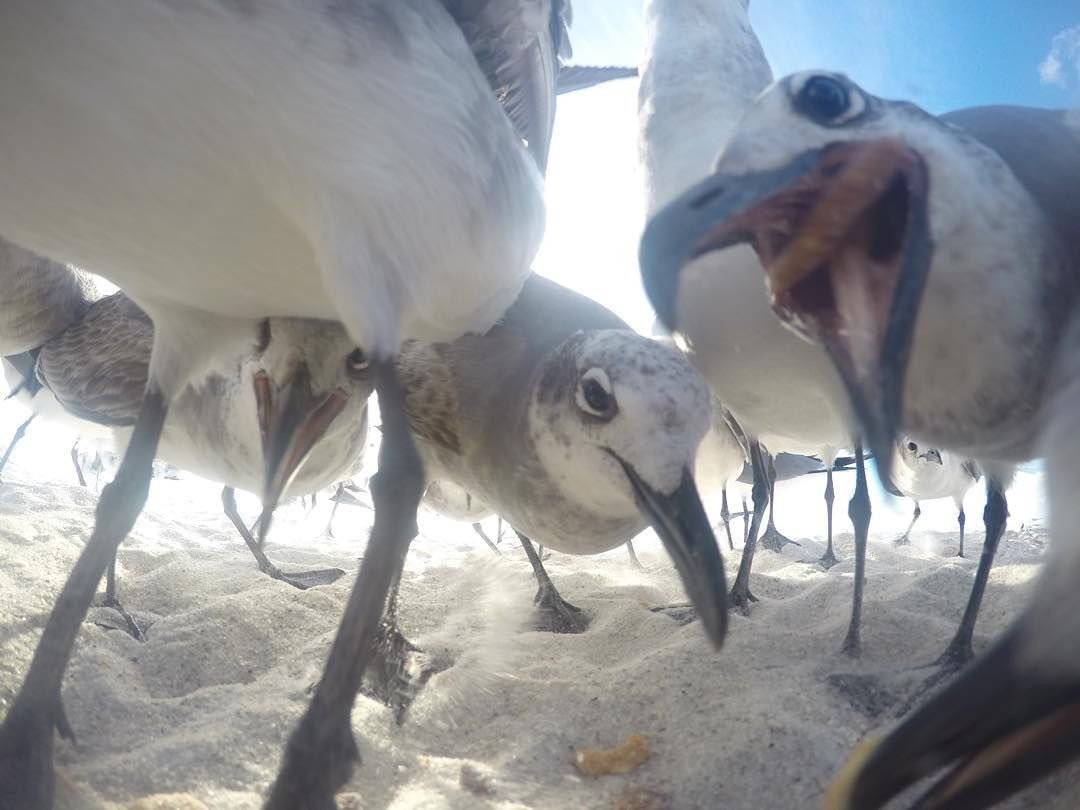 This what the squad look like when you tryna host pizza night. Ran a little @gopro experiment with my new friends. #gopro #goprohero4 #goprooftheday #beach #photooftheday #seagulls #pizza #hungry #birds #travel #phototag_it #photowall #artofvisuals #ig_shotz #hot_shotz #ig_captures #instagood #instagoodmyphoto #igers #ignation #igdaily #earth #ocean #travel #snacktime #igpodium #explore #exploreeverything #gopro4 #gopro_captures
