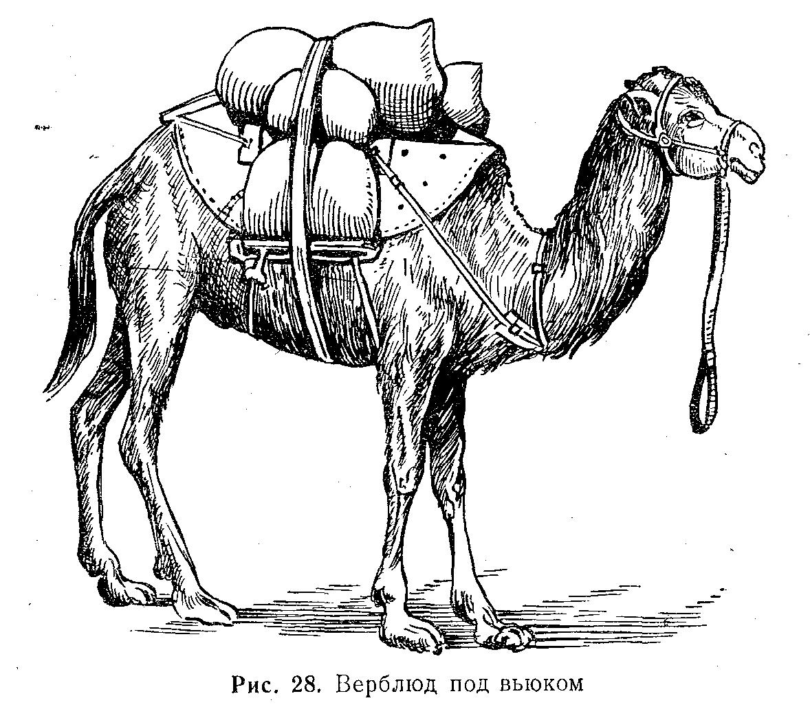 картинки заяц человек верблюд