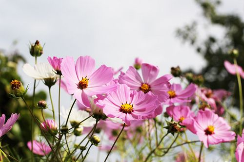 Cosmo Flowers Cosmos Flowers Types Of Flowers Flowers