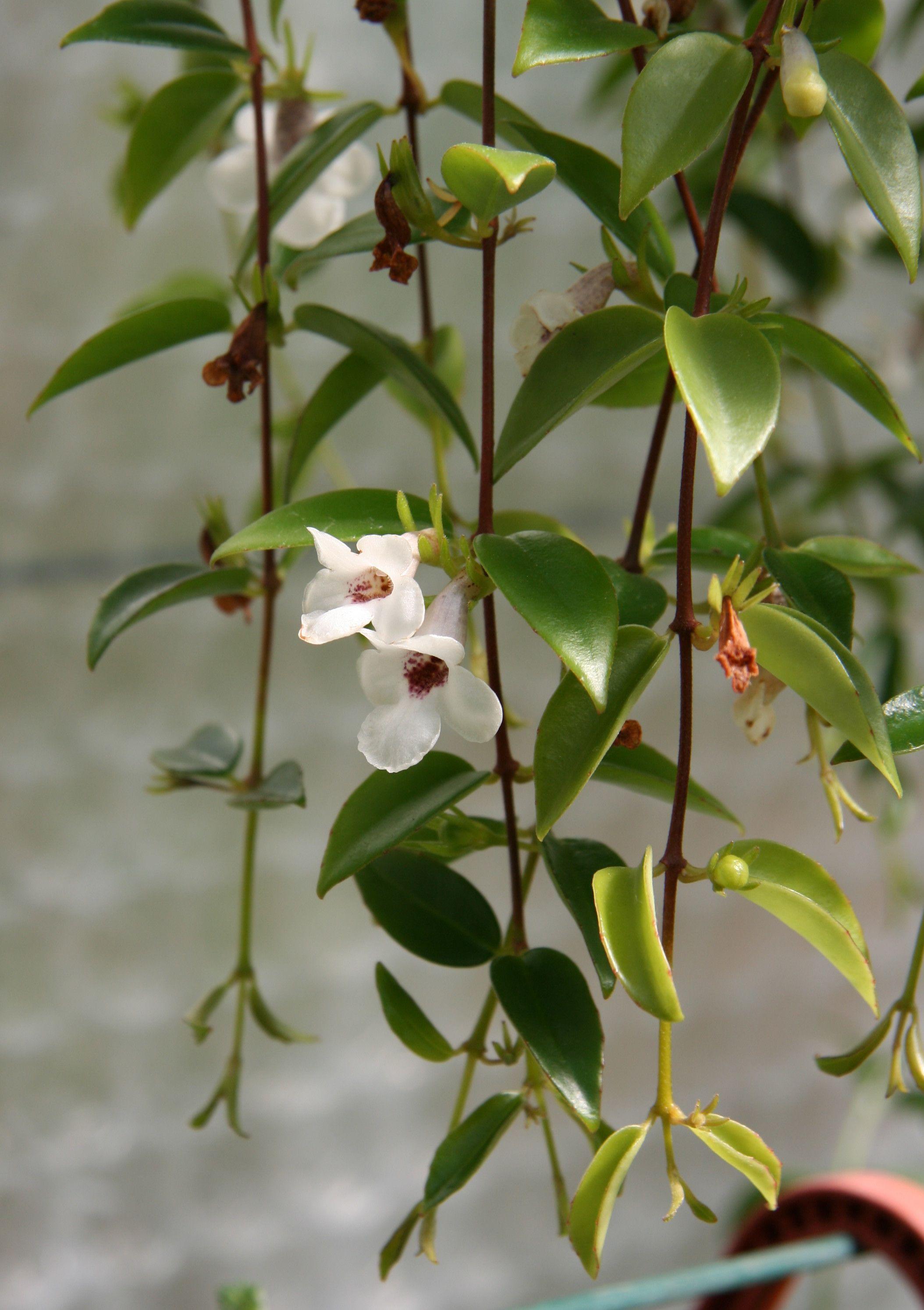 Codonanthe retombante 10 plantes d 39 int rieur suspendre journal des - Plante tombante interieur ...