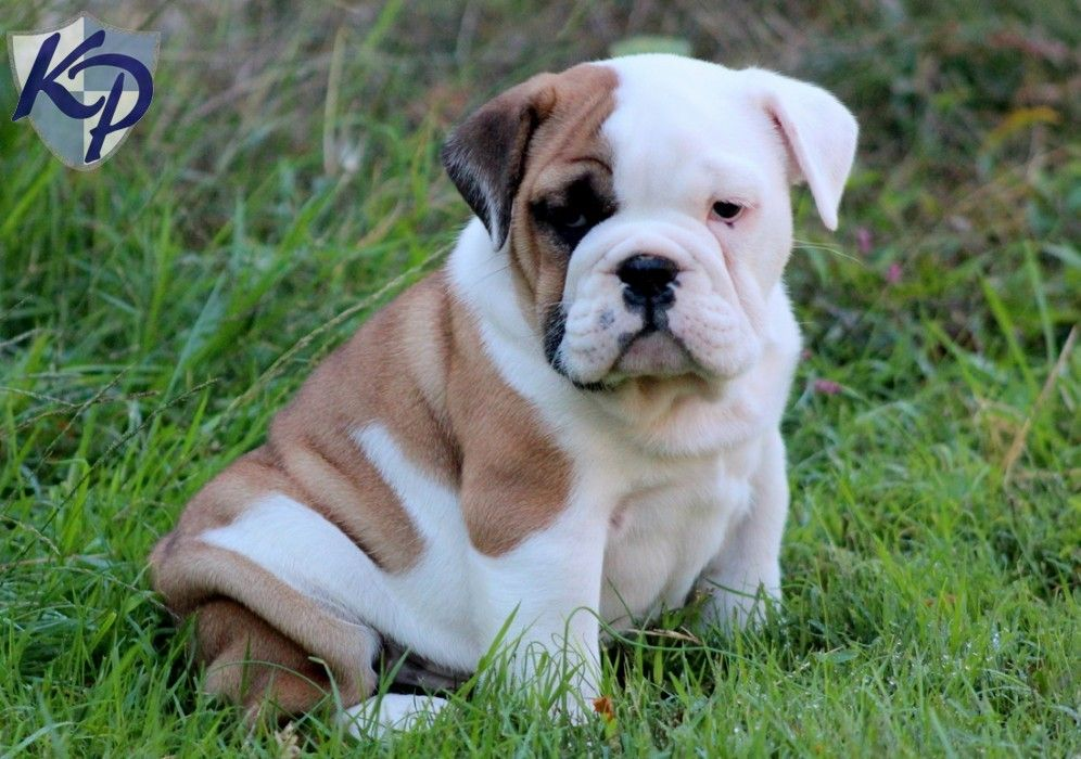Finding Friends For Your English Bulldog Puppy
