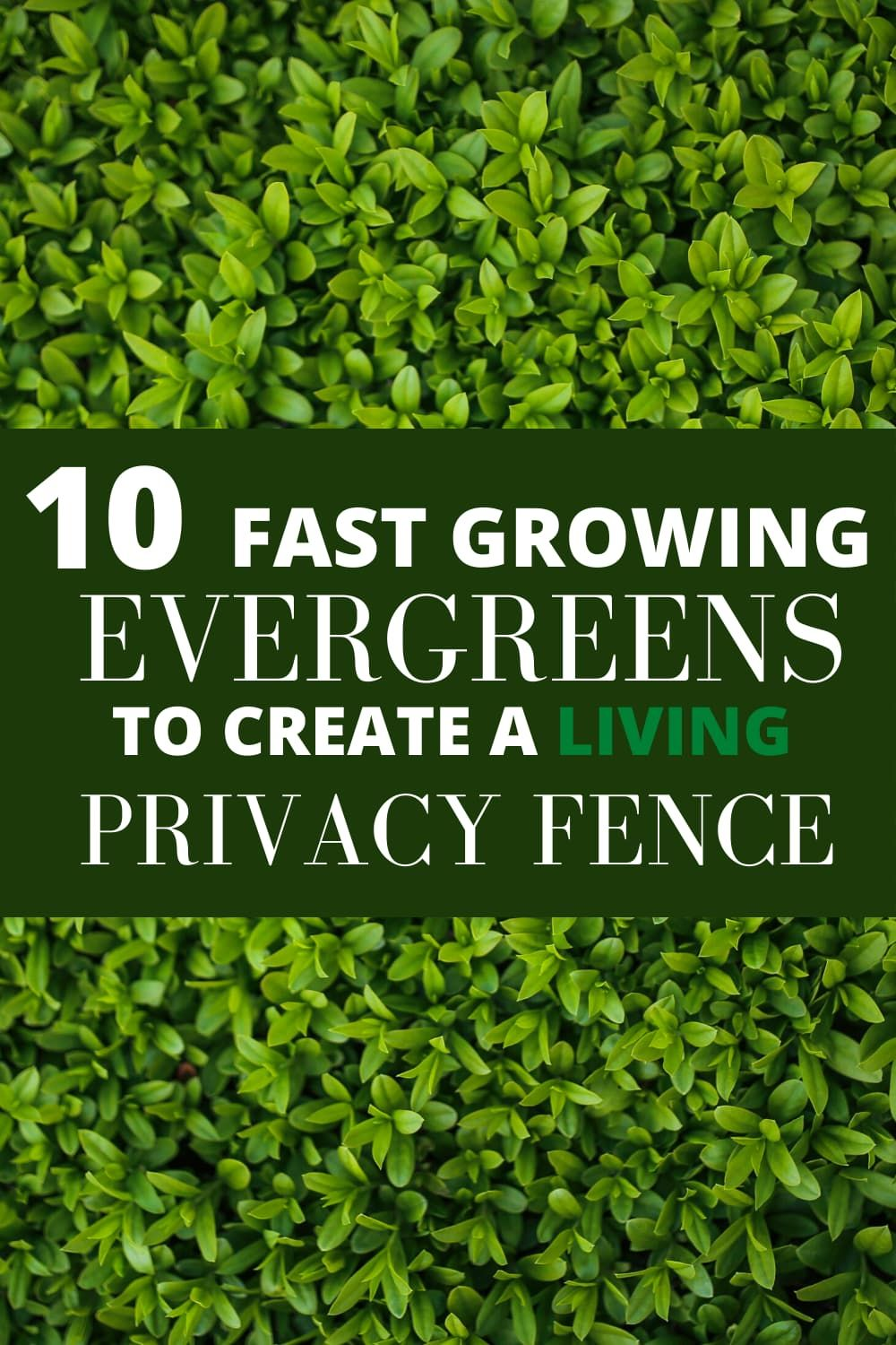10 Fast Growing Evergreen Trees For Privacy Garden Down South In 2020 Fast Growing Evergreens Living Privacy Fences Privacy Hedges Fast Growing