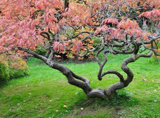 Stunning Ein fern stlicher Baum erobert seit einiger Zeit die westlichen G rten Japanischer Ahorn ist nicht nur sch n er gilt auch als pflegeleicht