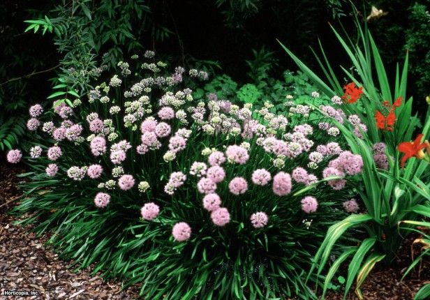 Lavender Globe Lily (Allium tanguticum) ~ ideas for my plant zone