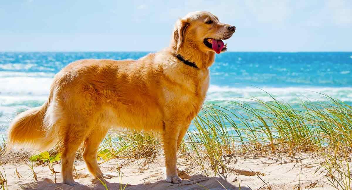 How Long Do Golden Retrievers Live A Golden Retriever Lifespan