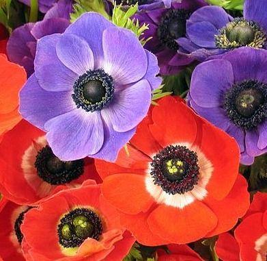 Cornish anemones look like poppies flowers pinterest cornish anemones look like poppies mightylinksfo
