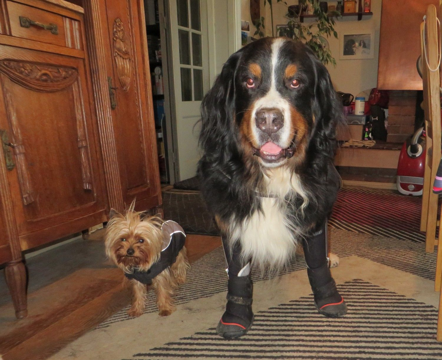 Moxiea happy saint moxie is a 10 year old st bernard who mom says eyko is so happy when hes wearing his shoes giant is his yorkie nvjuhfo Images