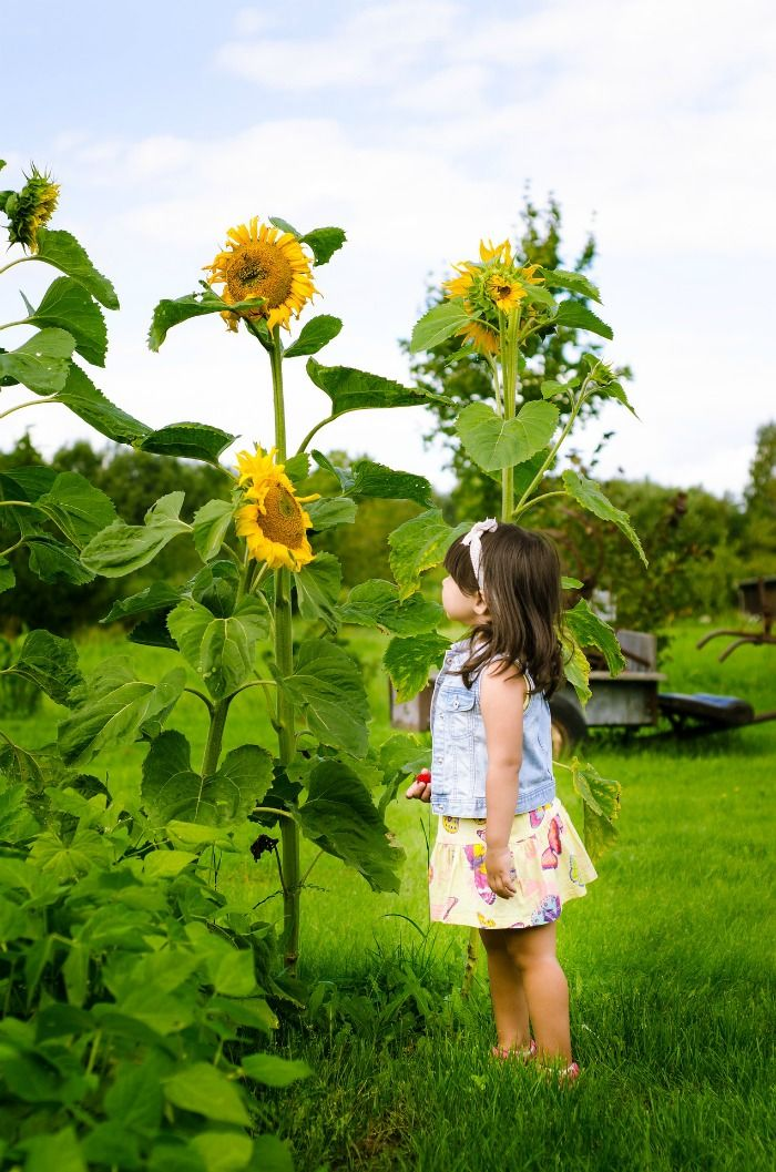 Growing Sunflower Plants Sunflower Care Tips For Big Beautiful Blooms Growing Sunflowers Planting Sunflowers Gardening For Kids