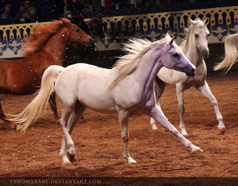 horse  breed: white arabian   by venom