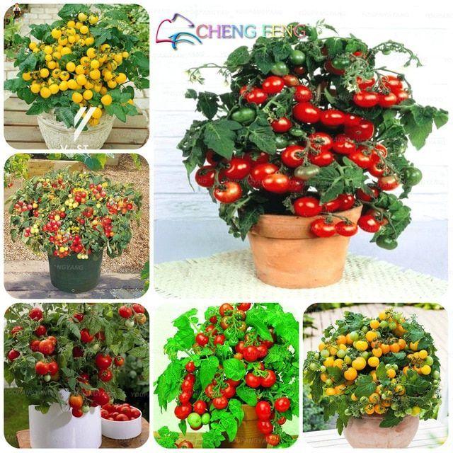 Hot Sale 50pcs Heiße Rare Süße Tomaten Obst Gemüsesamen Hausgarten Pflanzensamen