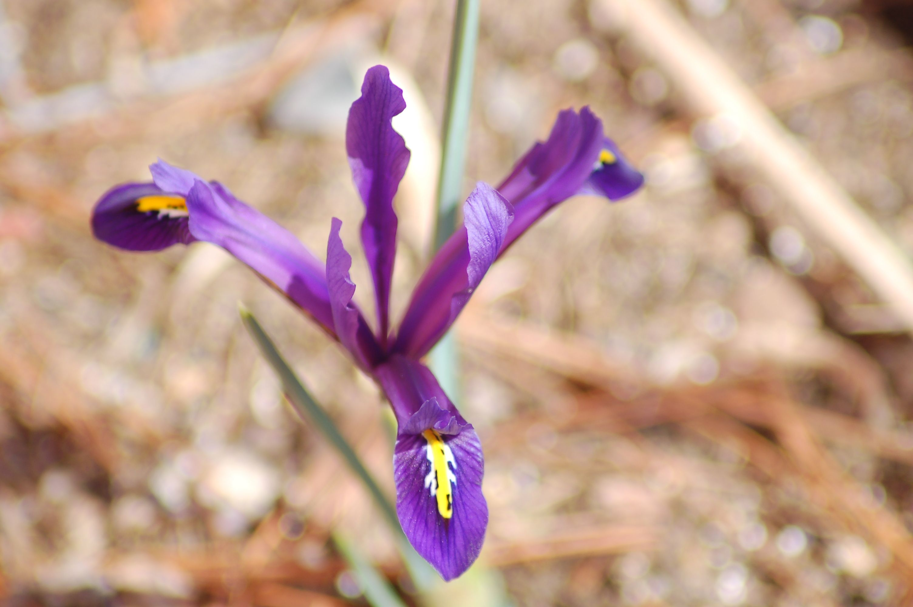 If You Cant Wait For Your Irises To Bloom This Ones For You