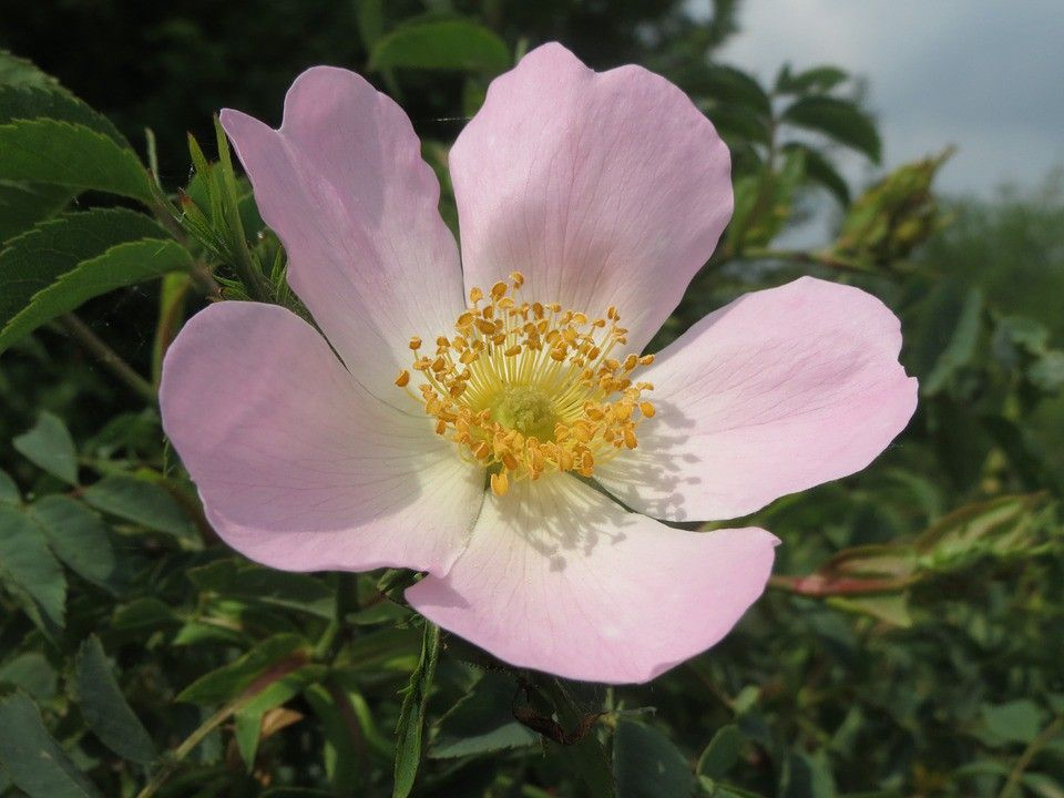 Wild Rose Medicine Apothecary Tinctura Bach Flower Remedies Flower Remedy Wild Roses