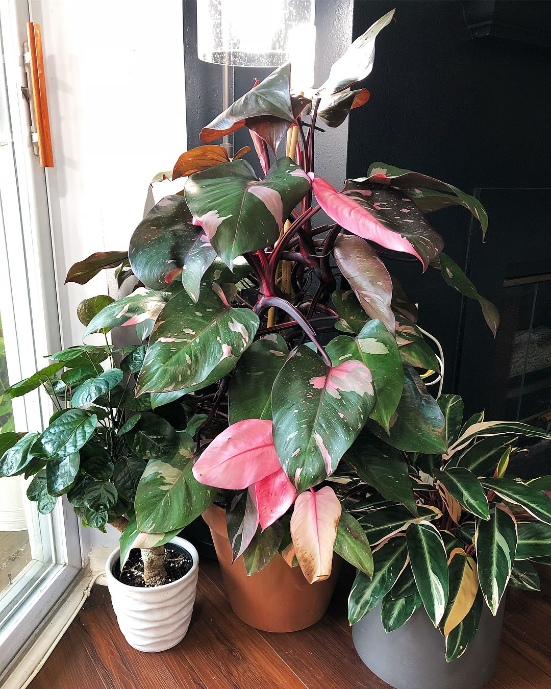 philodendron pink princess planted plants house plants houseplants. Black Bedroom Furniture Sets. Home Design Ideas