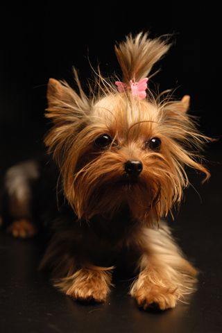 A Big Dog In Smaller Body Yorkie I M So In Love In These Yorkie Dogs Dog Breeds Yorkshire Terrier