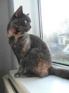 Dotty- grey tortoiseshell cat rescue love