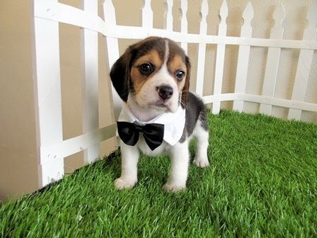 Pocket Beagle All Dressed Up With His Black Bow Tie He Can Live With Me Beagle Puppy Cute Puppies Cute Animals