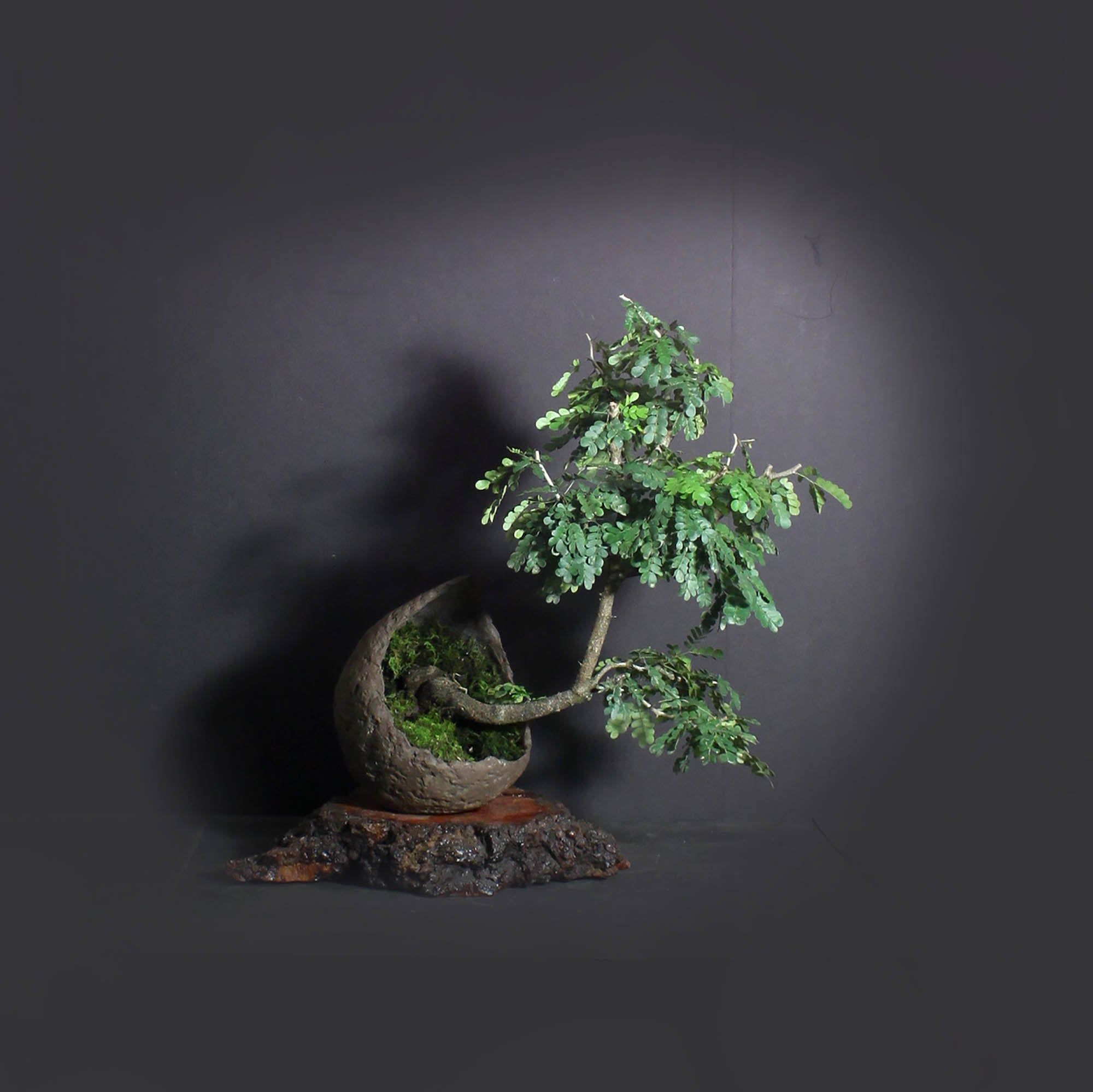 Texas Ebony Bonsai Tree Theatrical Collection From Etsy Bonsai Tree Bonsai Poinciana