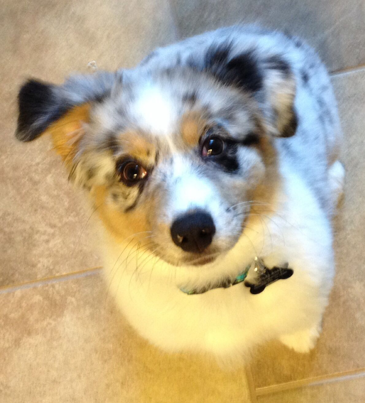 Blue Merle With White Markings And Copper Trim 13 Week Old Australian Shepherd