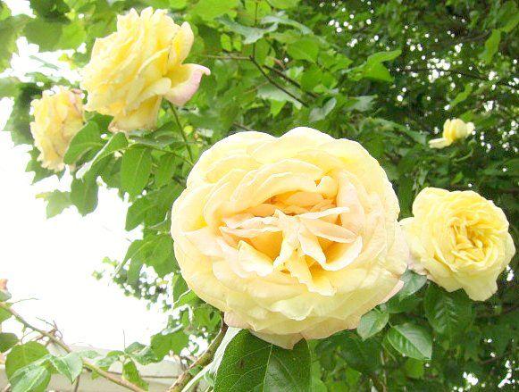 Pale Yellow Rose