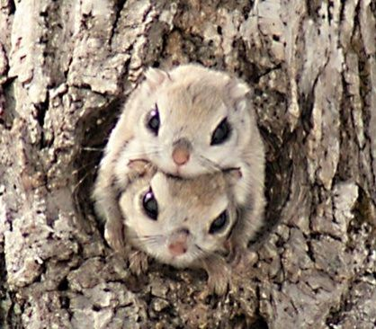 Siberian Flying Squirrels Preferentially Build Their Nests In Holes Made By Woodpeckers But They Japanese Dwarf Flying Squirrel Cute Animals Animals Beautiful