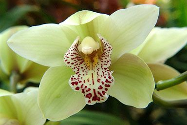 pale green red orchids google image result for http www