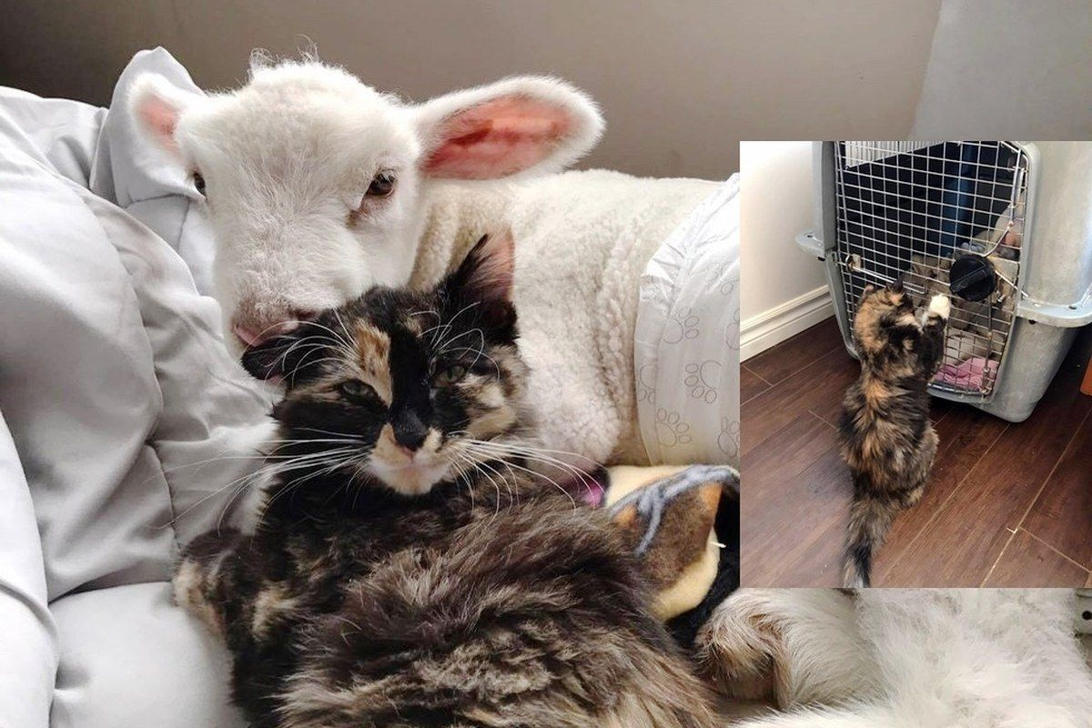 Rescue Cat Helps Save Sick Little Lamb and Nurses Him Back
