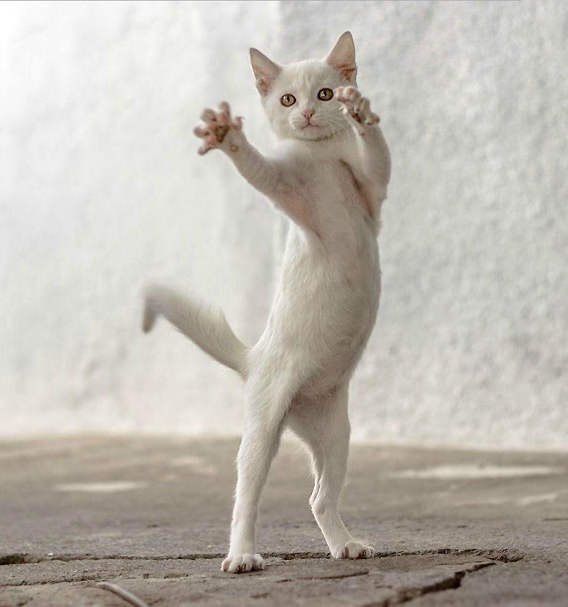 Jazz Hands Photo By Mitsuaki Iwago Dancing Cat Animals Cute Animals