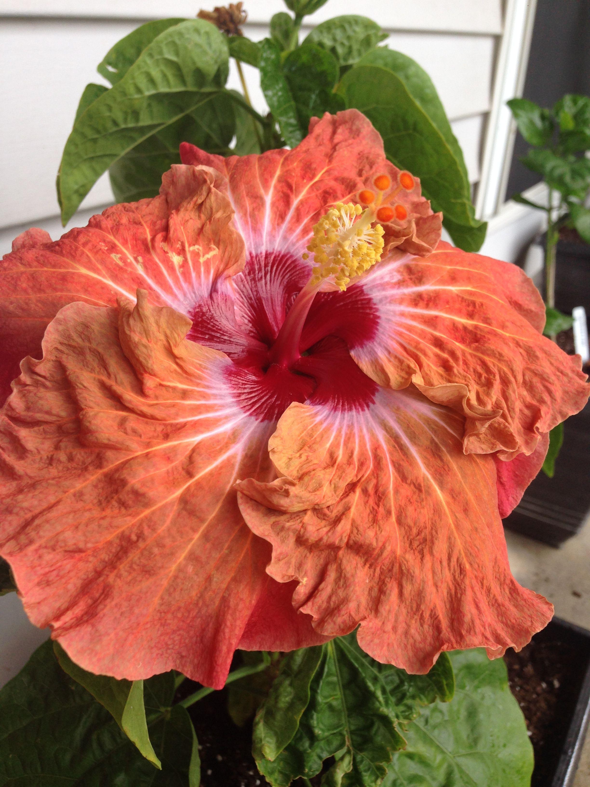 Cajun Hibiscus Cinnamon Seas My Flowers Hibiscus Hibiscus