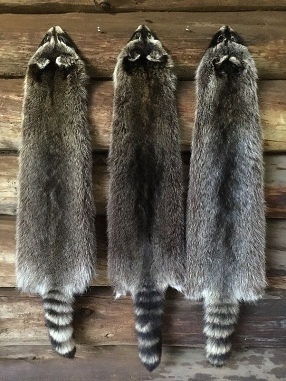 Jumbo Raccoon Pelts Log Cabin Decor Man Cave Art Fresh Tanned Log Cabin Decor Hunting Room Cabin Decor