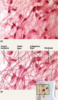 Loose Connective Tissue Areolar Tissue Loose Arrangement Of Collagenous And Elastic Fibers And Pl Loose Connective Tissue Cells And Tissues Histology Slides