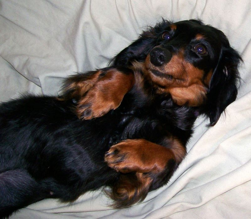 Black And Tan Long Haired Dachshund Black And Tan Long Haired