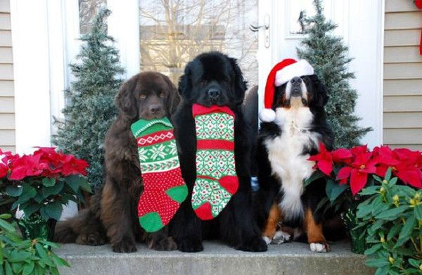 dog stocking stuffers dog christmas cards ideas - Dog Christmas Card Ideas