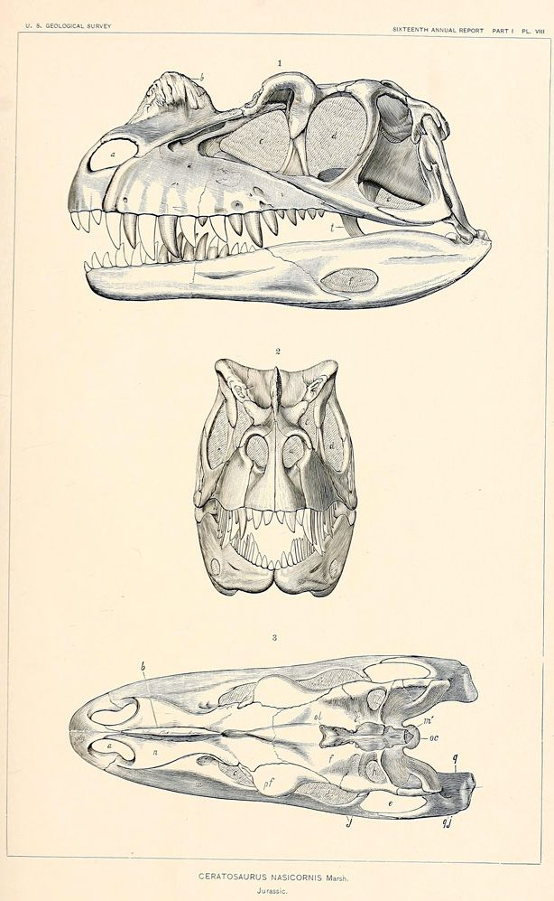 geo-ebooks:    Skull of the Jurassic Dinosaur Ceratosaurus nasicornis Marsh, 1896  from  The dinosaurs of North America (1896)  source: http://archive.org/stream/dinosaursofnort00mars