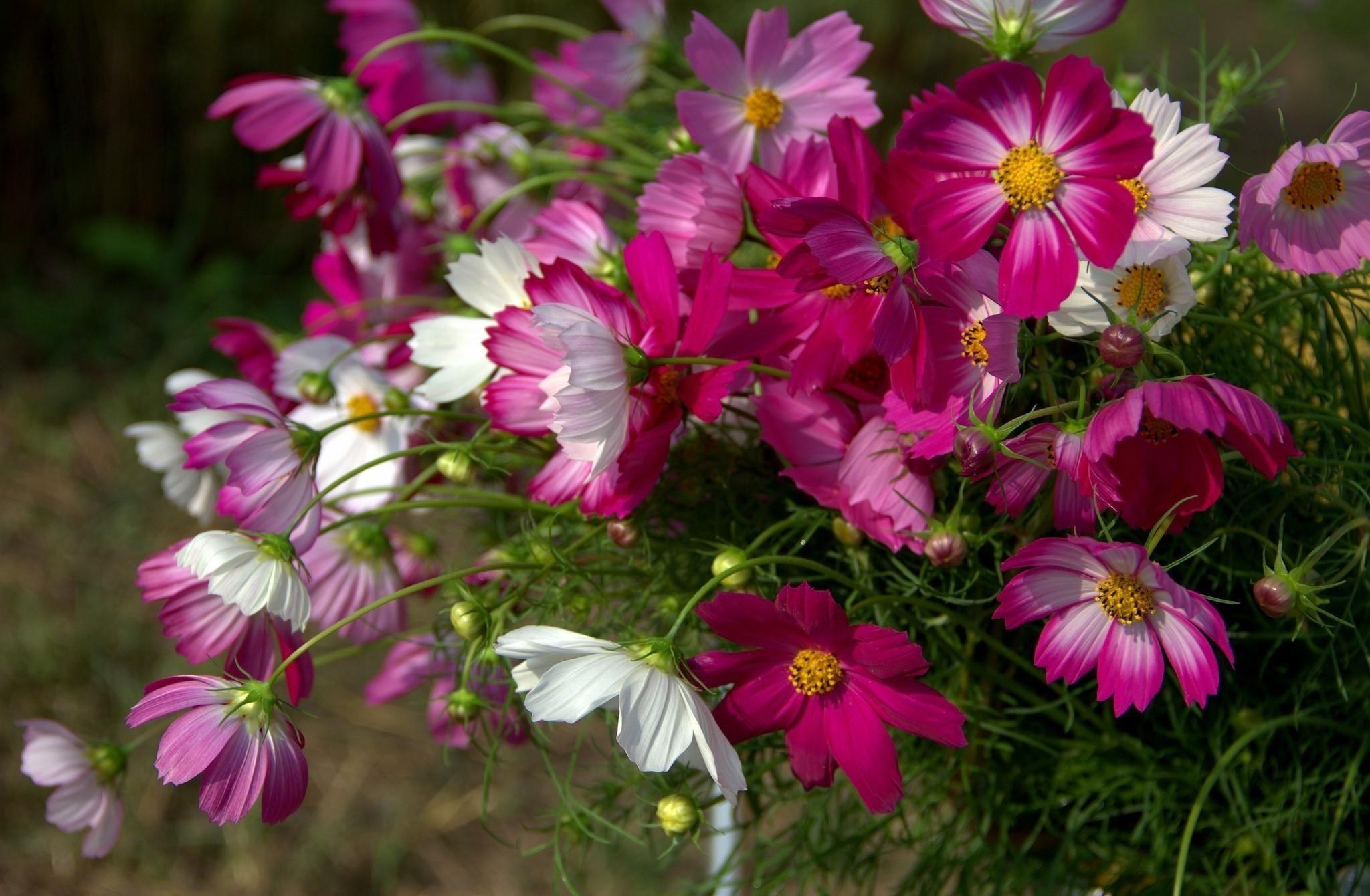 красивые фото цветов космея трогательные