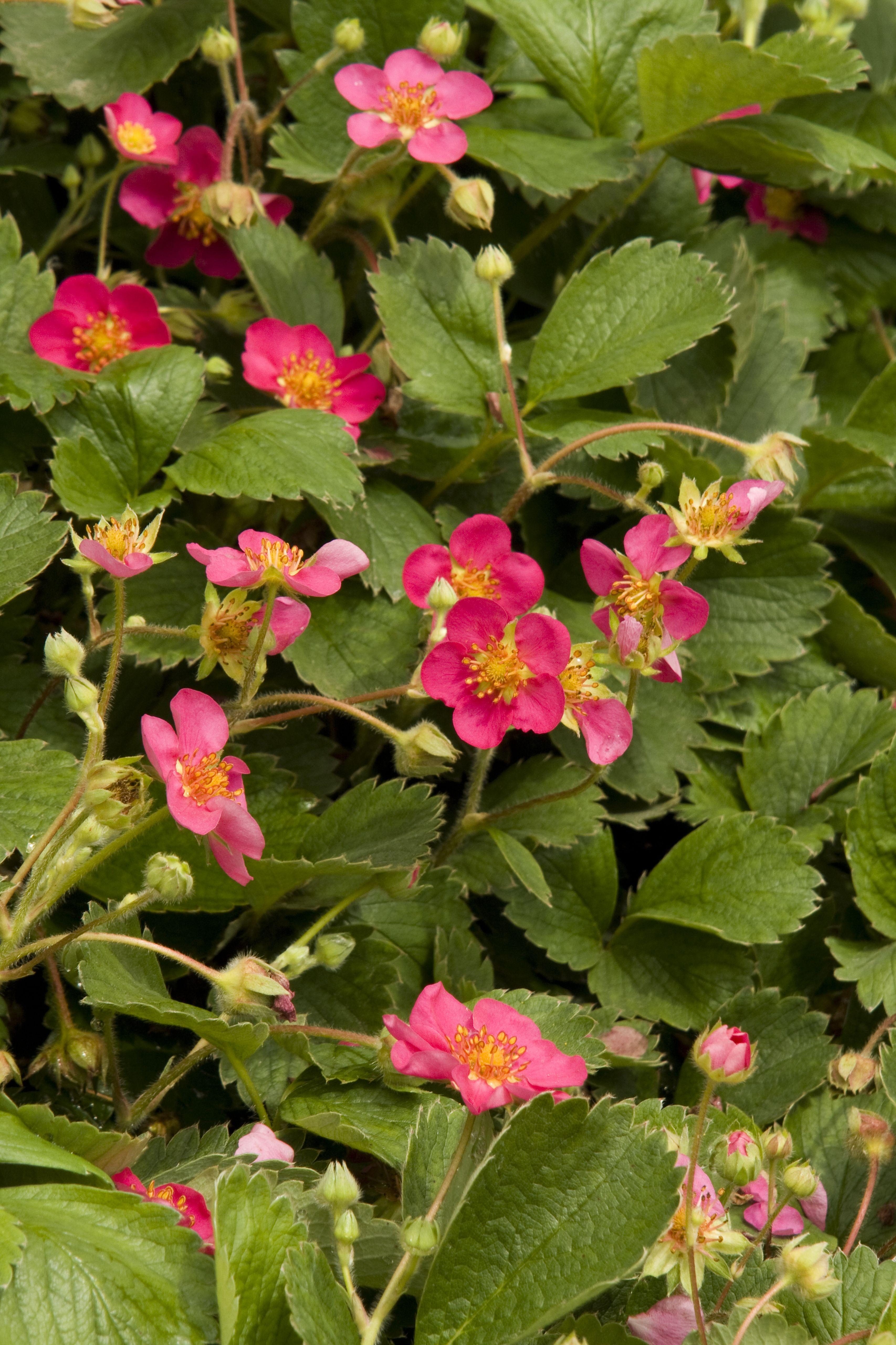 Picture of Live Ornamental Strawberry aka Fragaria chiloensis 'Lipstick' Plant Fit 1 Gallon Pot