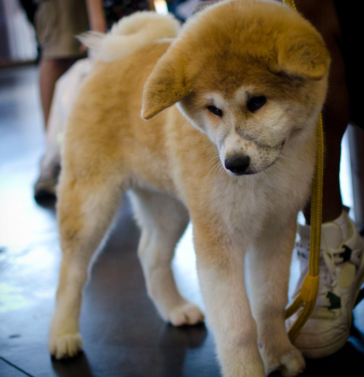 Shiba Inu Akita Mix Bing Images Japanese Dog Breeds Dog Breeds