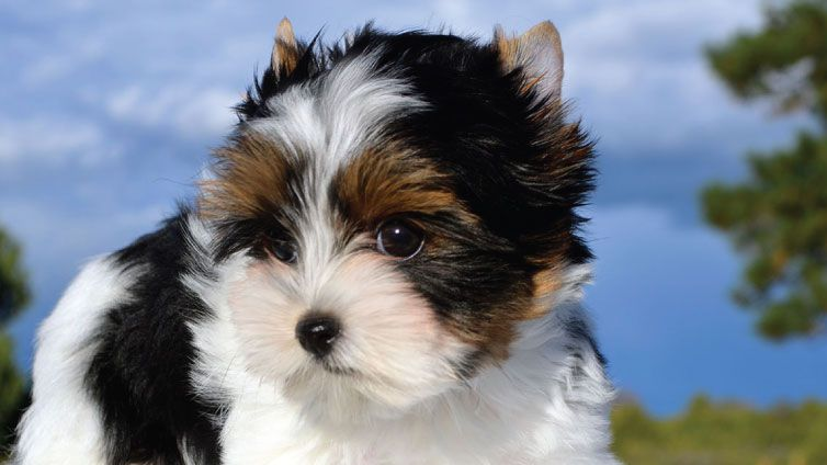 30 Small Hypoallergenic Dogs That Don't Shed | Dog breeds ...