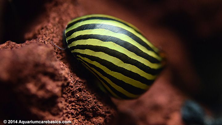 Nerite Snail Eggs Care Algae Eating Tips And Lifespan All About Nerite Snails Snail Aquarium Snails Fresh Water Fish Tank