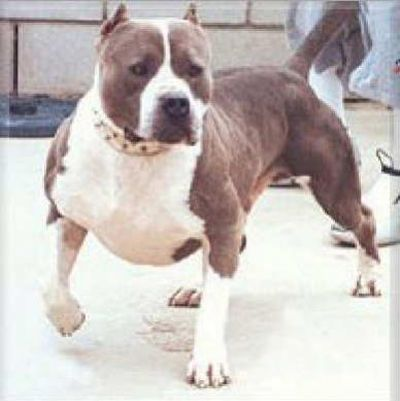 Pitbull Dogs Megapitbulls Pitbulls Pitbull Dog Pitbull Images