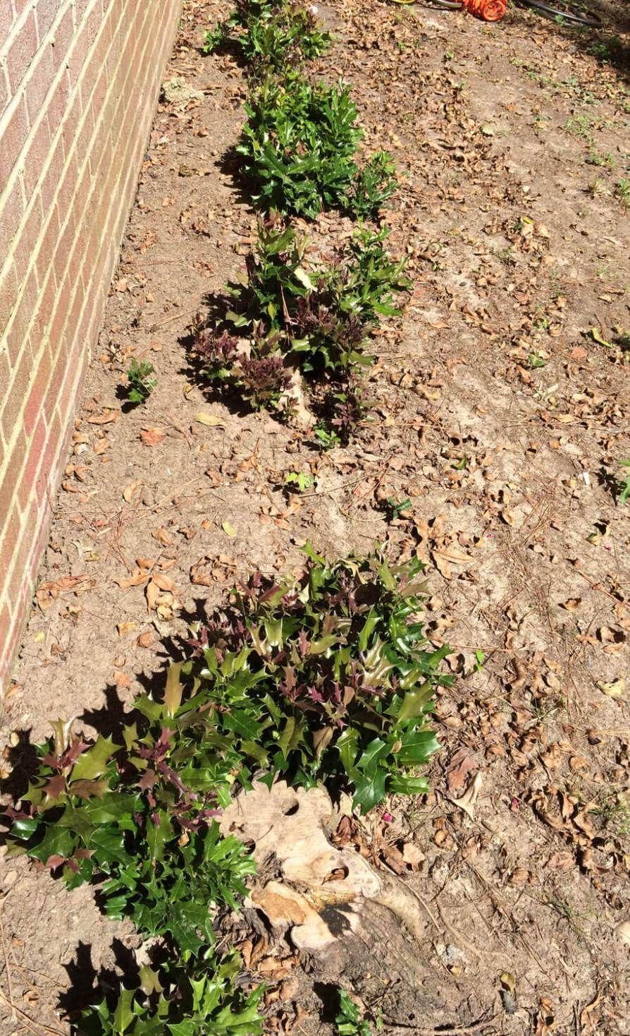 How To Remove Holly Bushes Holly Bush Garden Yard Ideas