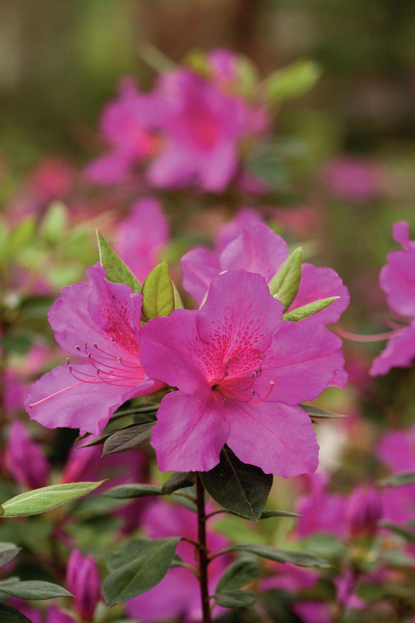 Choose Your Favorite Azalea Azalea Flower Summer Flowers To Plant Azaleas