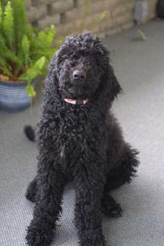 Black Goldendoodle Puppy Dog Tails On Pinterest For