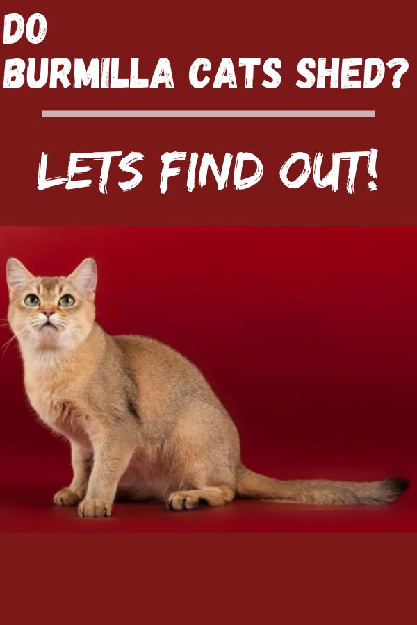 Do Burmilla Cats Shed Lets Find Out! [ 2020 ] Burmilla